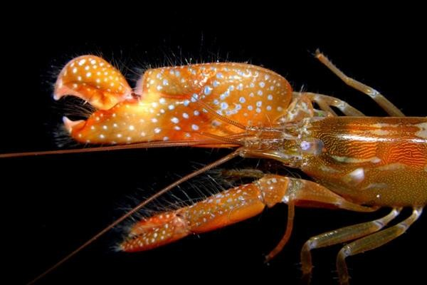 researchers-3d-print-shrimp-inspired-robot-claw-to-produce-underwater-plasma-1